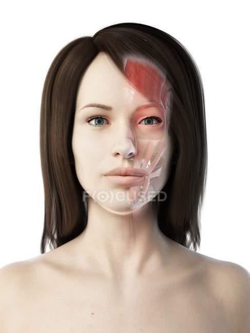 Женское лицо с анатомией лица, компьютерная иллюстрация . — стоковое фото
