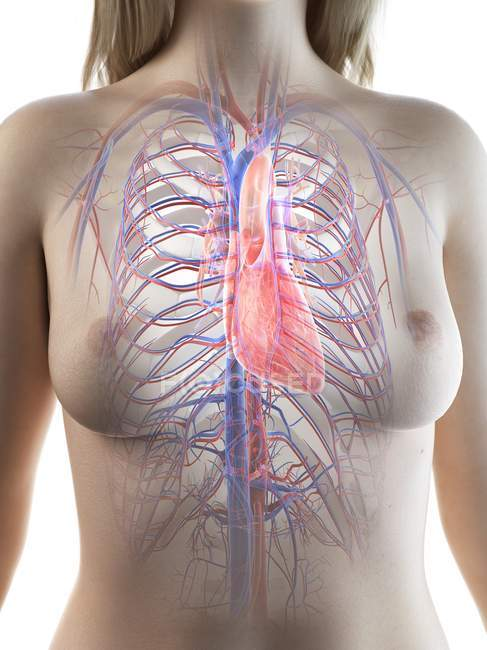 Silueta femenina que muestra anatomía del corazón, ilustración por computadora . - foto de stock