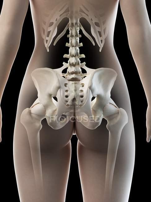 Женские тазобедренные кости, анатомическая цифровая иллюстрация — стоковое фото