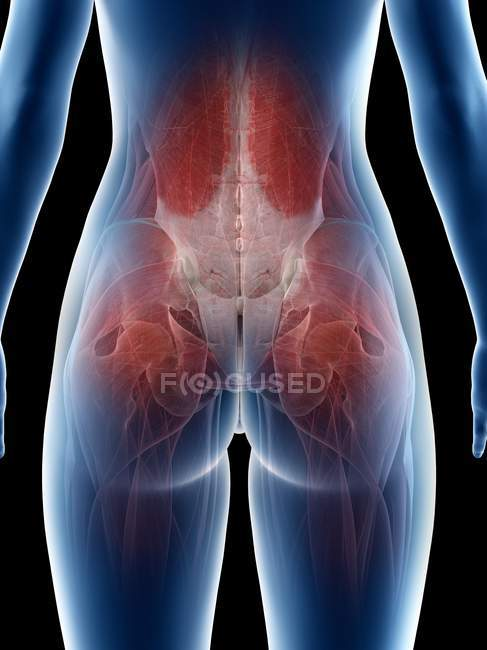 Female body showing hips muscles, computer illustration — Stock Photo