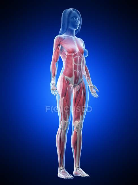 Muscolatura femminile nel corpo trasparente, illustrazione al computer . — Foto stock