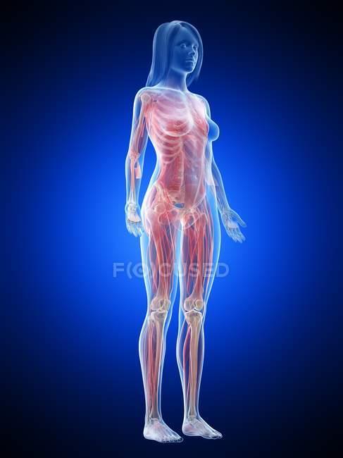 Musculatura femenina en cuerpo transparente, ilustración por ordenador . - foto de stock