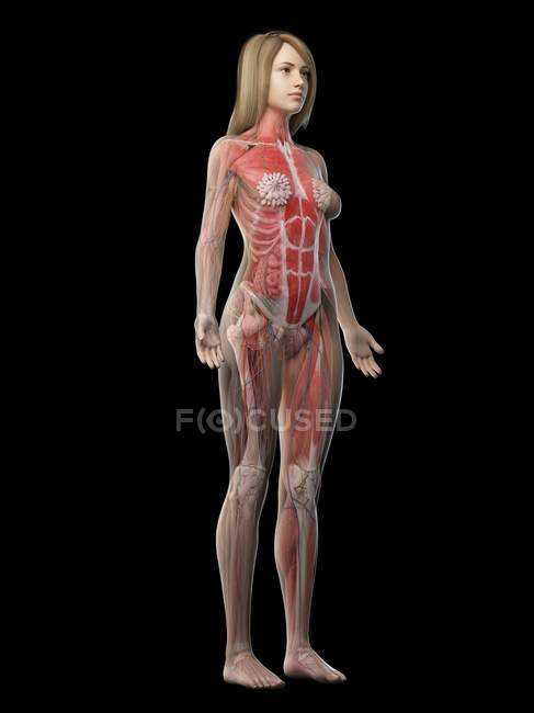 Female musculature in transparent body, computer illustration. — Stock Photo