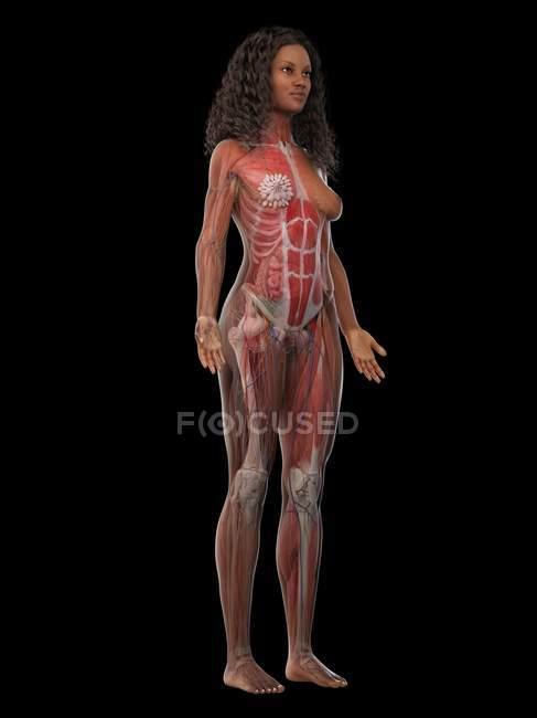 Женская мускулатура в прозрачном теле, компьютерная иллюстрация . — стоковое фото
