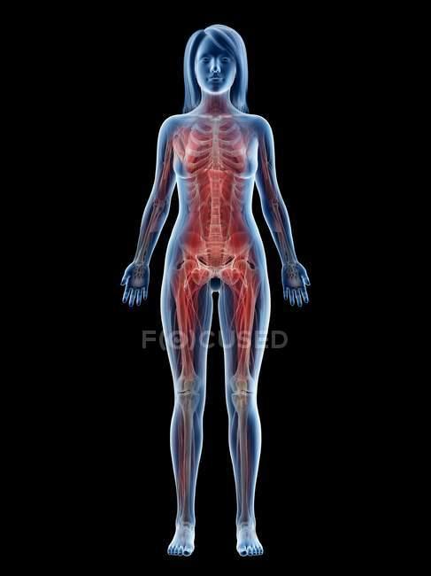 Musculature féminine en silhouette transparente, vue de face, illustration par ordinateur — Photo de stock
