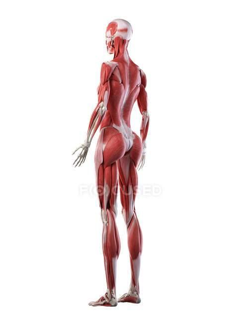 Женское тело с видимой мускулатурой, компьютерная иллюстрация. — стоковое фото
