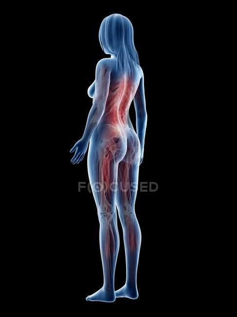 Musculatura femenina en silueta transparente, ilustración digital . - foto de stock
