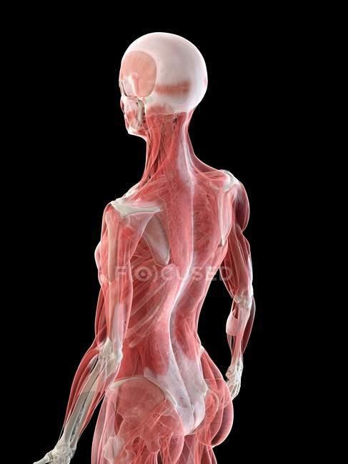Cuerpo femenino con musculatura visible, ilustración por ordenador . - foto de stock