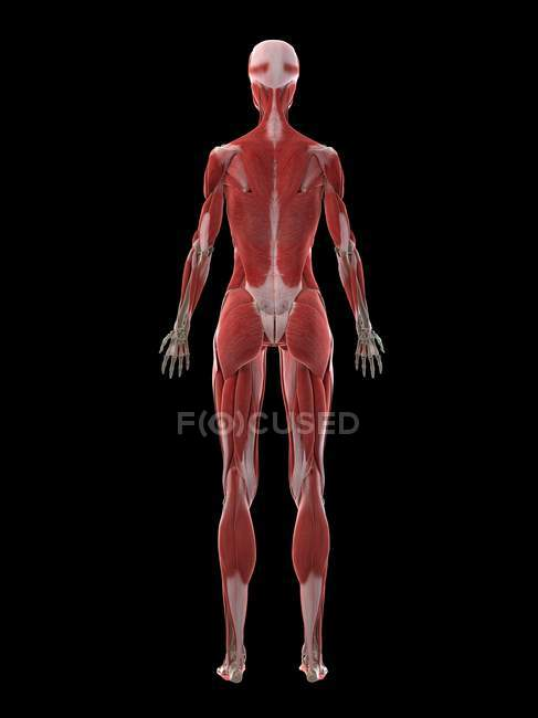 Female body with visible musculature, computer illustration. — Stock Photo