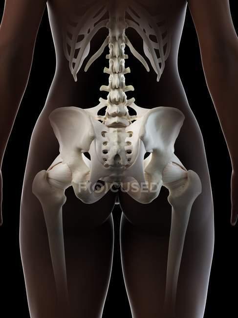 Pelvis femenina, ilustración digital anatómica - foto de stock