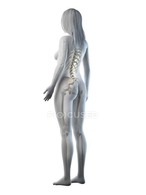 Esqueleto visible en silueta de cuerpo femenino sobre fondo blanco, ilustración por ordenador . - foto de stock