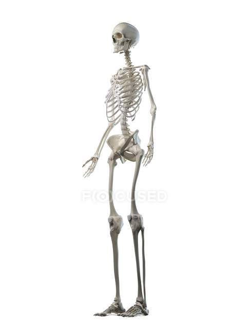 Esqueleto femenino sobre fondo blanco, ilustración por ordenador . - foto de stock