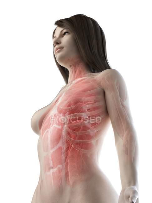 Músculos de la parte superior del cuerpo femenino, vista de ángulo bajo, ilustración por computadora - foto de stock