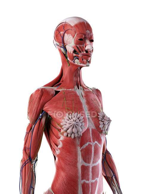 Female upper body anatomy and muscular system, computer illustration. — Stock Photo