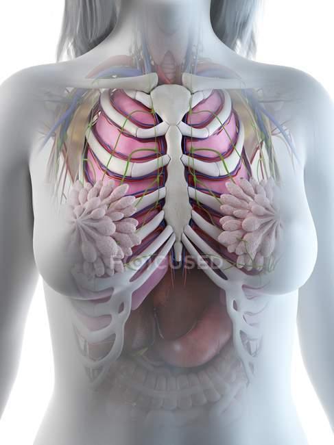 Anatomía del tórax femenino con esqueleto y órganos internos, ilustración por ordenador . - foto de stock