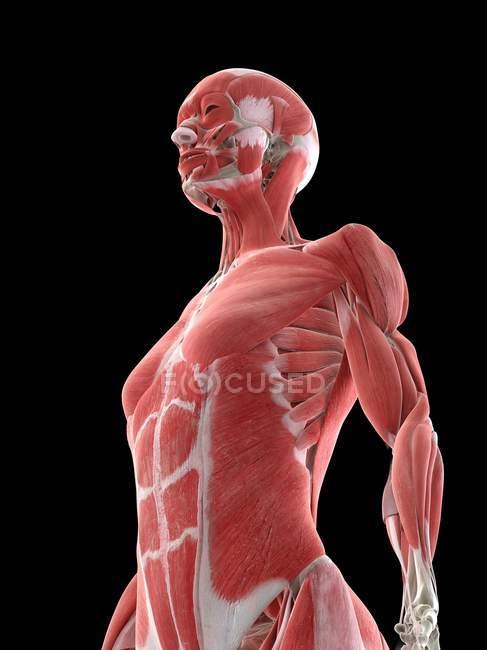 Musculatura del cuerpo superior femenino, ilustración por computadora . - foto de stock
