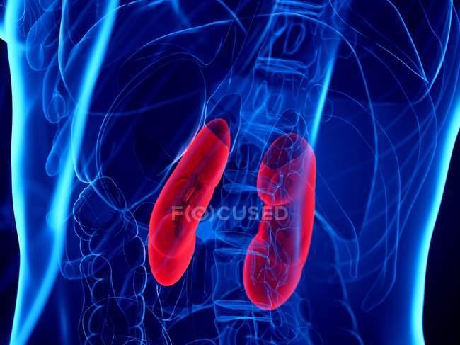Reins de couleur rouge dans le corps humain abstrait, illustration numérique . — Photo de stock