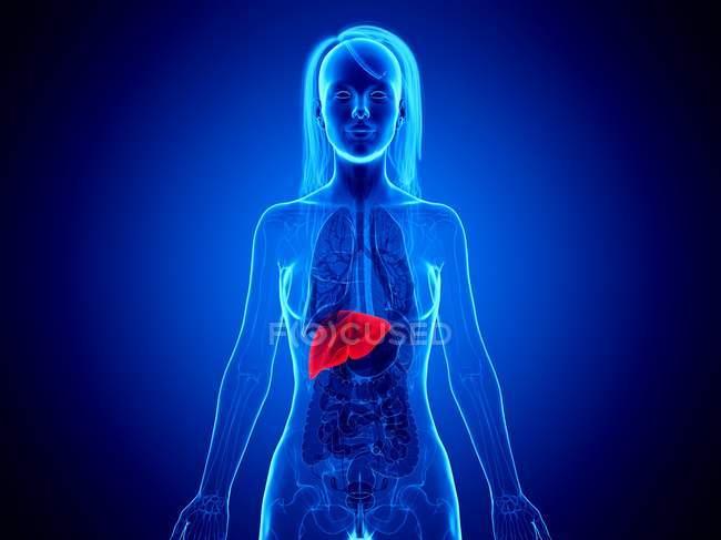 3d ilustración del cuerpo femenino con hígado rojo, ilustración por computadora . - foto de stock