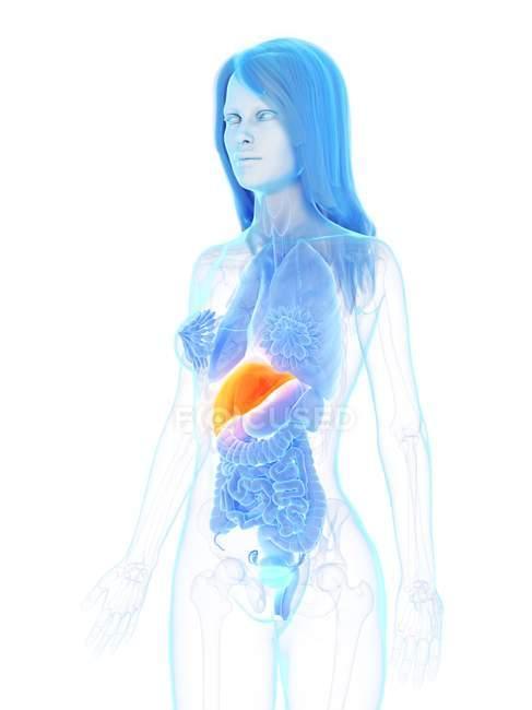 Female anatomy showing orange colored liver, computer illustration. — стокове фото