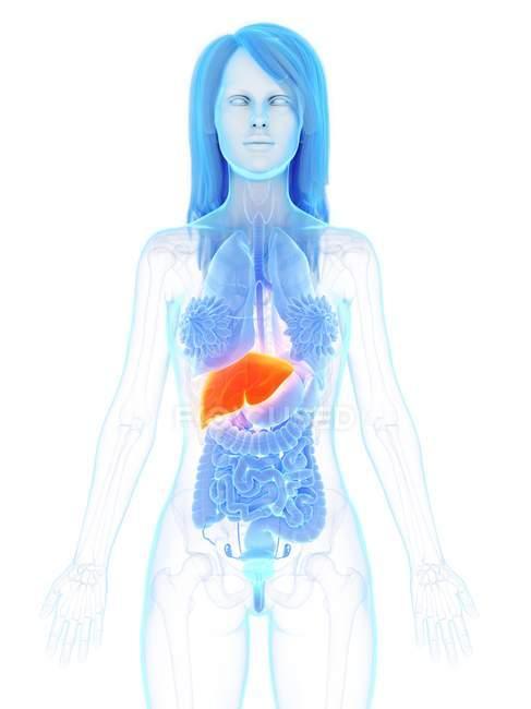 Anatomía femenina que muestra hígado de color naranja, ilustración por computadora . - foto de stock