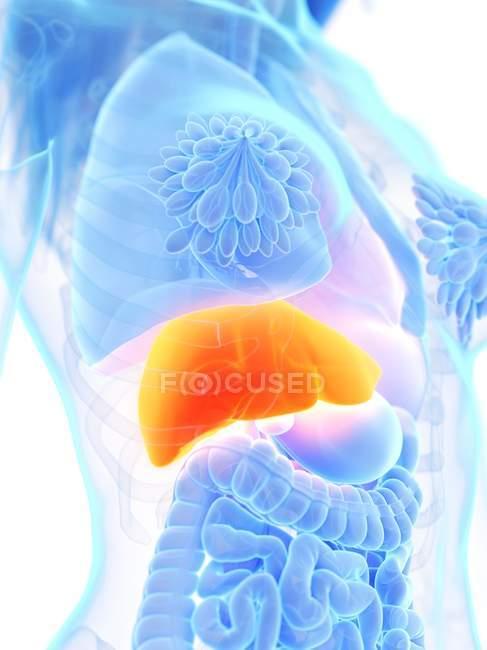 Female anatomy showing orange colored liver, computer illustration. — Stock Photo