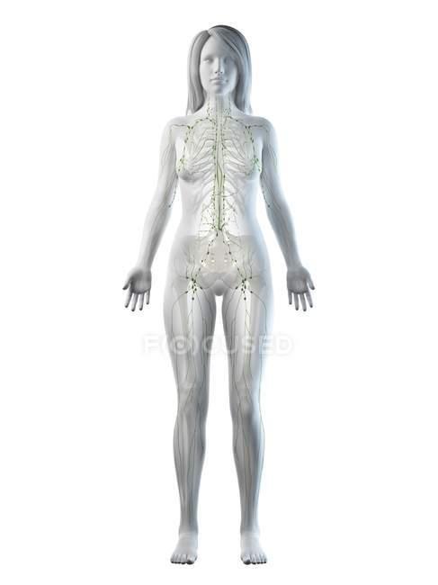 Cuerpo femenino transparente con sistema linfático visible, ilustración digital . - foto de stock