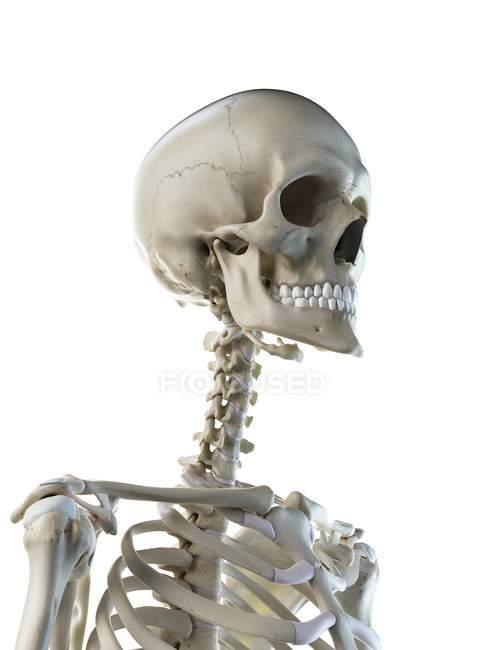 Anatomía de huesos del cuello del esqueleto humano, ilustración por computadora . - foto de stock