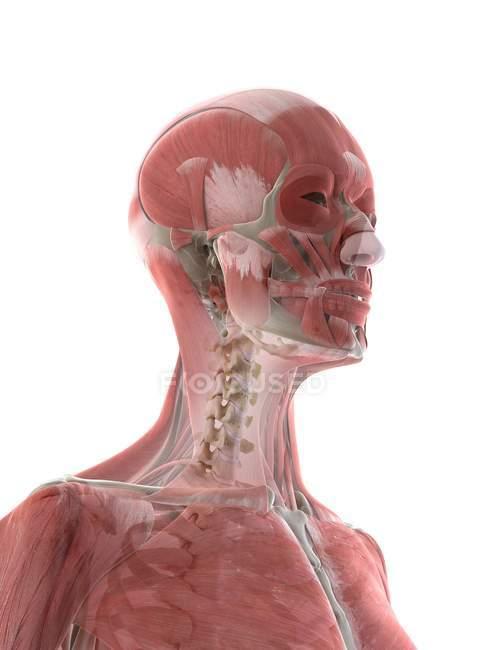 Muscoli del collo e della testa nel corpo femminile, illustrazione del computer — Foto stock
