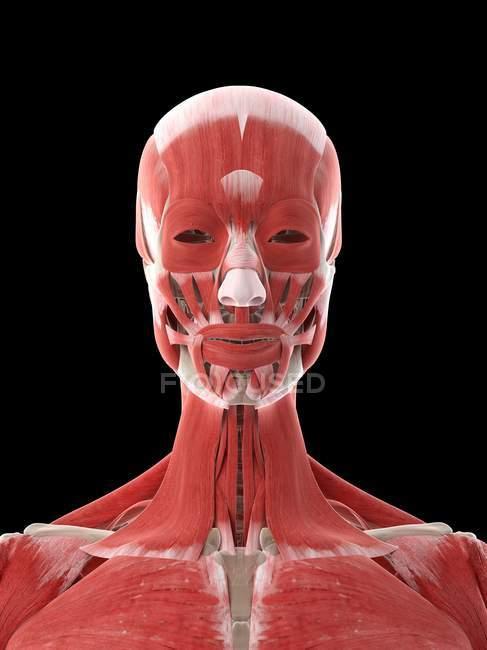 Músculos del cuello y la cabeza en el cuerpo femenino, ilustración por computadora - foto de stock
