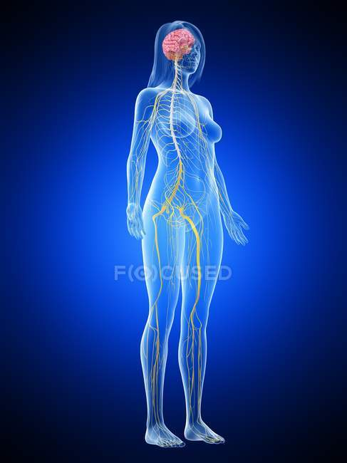 Abstract female silhouette with visible nervous system and brain, computer illustration. — Stock Photo
