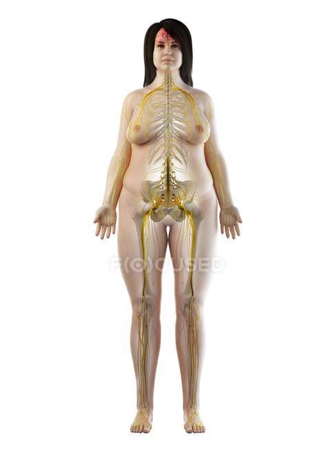 Overweight female body with visible nervous system and brain, computer illustration. — Stock Photo