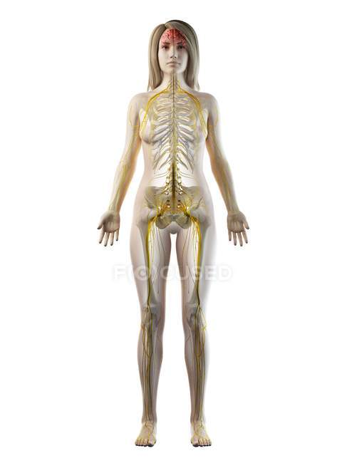 Female body with visible nervous system and brain, computer illustration. — Stock Photo