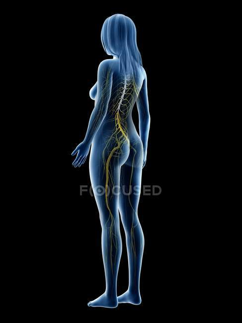 Female silhouette showing nervous system of back, computer illustration. — Stock Photo
