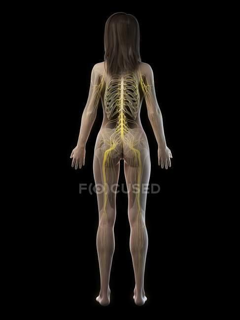 Silhueta feminina mostrando sistema nervoso das costas, ilustração do computador . — Fotografia de Stock