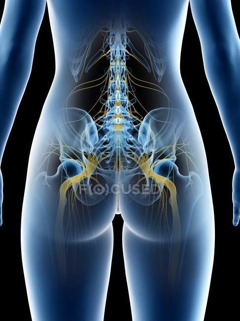 Nervios ciáticos y sistema nervioso en cuerpo humano abstracto, ilustración por computadora . - foto de stock