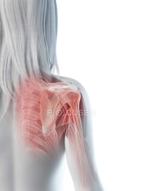 Músculos del hombro, huesos y articulaciones del cuerpo femenino, ilustración por ordenador - foto de stock