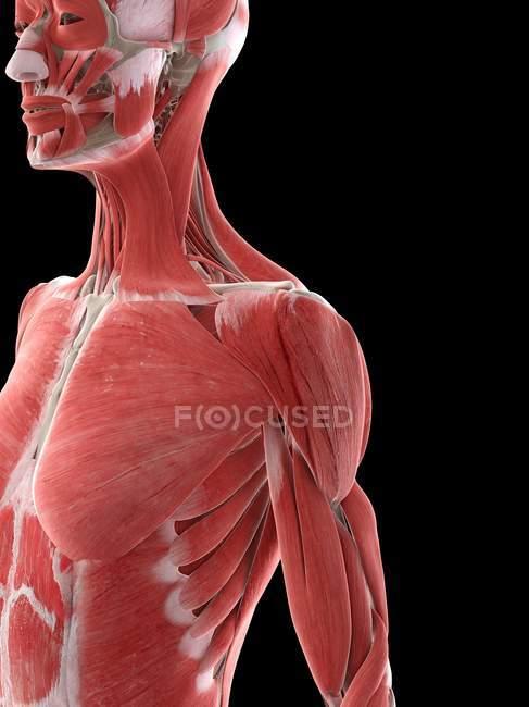 Músculos do ombro do corpo feminino, ilustração do computador — Fotografia de Stock