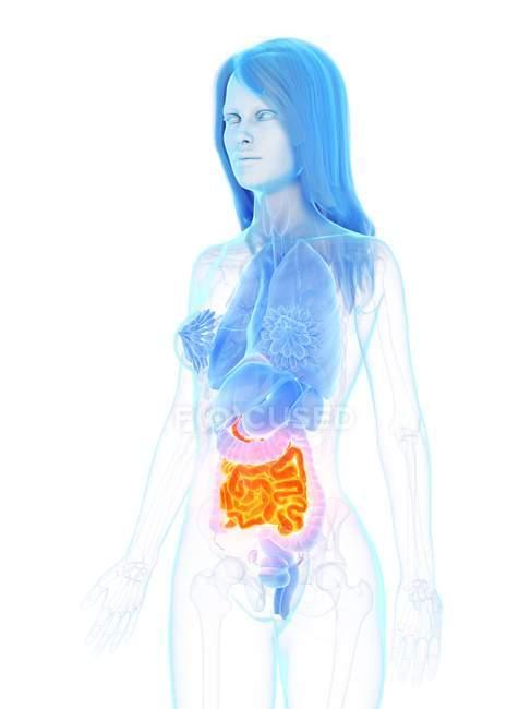Anatomía femenina con intestino delgado de color naranja, ilustración digital . - foto de stock
