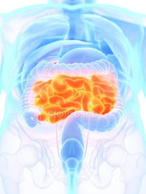 Мужская анатомия с оранжевым цветом тонкой кишки, цифровая иллюстрация . — стоковое фото