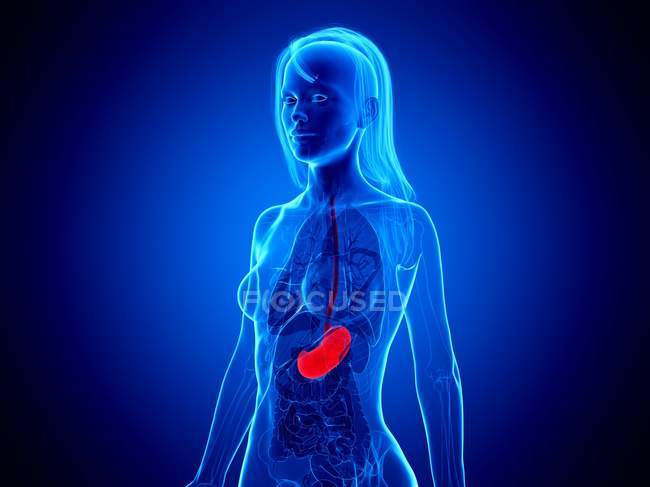 Red stomach in female silhouette on blue background, computer illustration. — Stock Photo