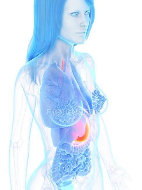 Ventre de couleur orange dans le corps anatomique féminin abstrait, illustration d'ordinateur . — Photo de stock
