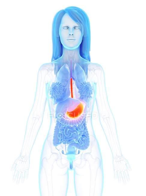 Estómago de color naranja en cuerpo anatómico femenino abstracto, ilustración por computadora . - foto de stock
