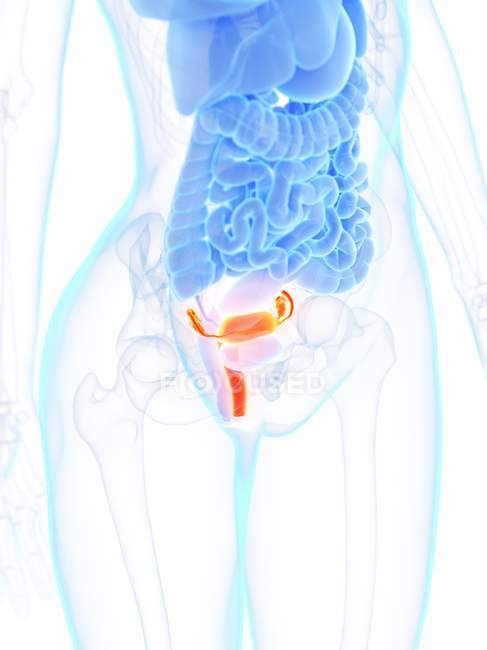 Female anatomy with detailed uterus, computer illustration. — Stock Photo