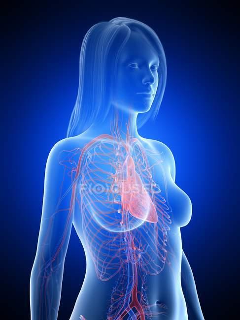 Vascular system of female upper body, digital illustration — стокове фото