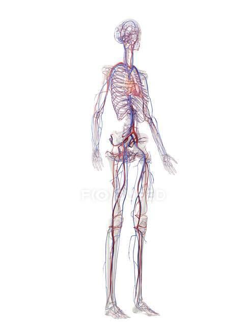 Estructura del sistema vascular humano, ilustración digital - foto de stock