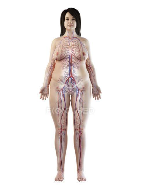 Sistema vascular en el cuerpo femenino obeso, ilustración digital - foto de stock