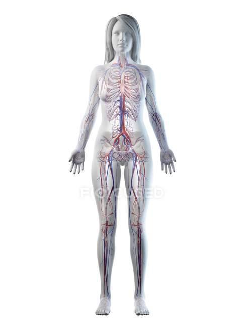 Sistema vascular em corpo feminino normal, ilustração digital — Fotografia de Stock