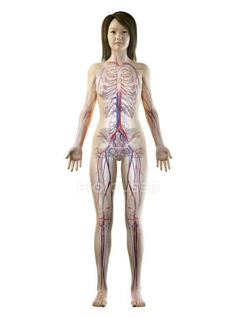 Sistema vascular en el cuerpo femenino normal, ilustración digital - foto de stock