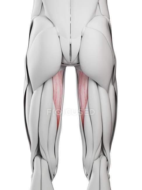 Männliche Anatomie mit Muskel abductus magnus, Computerillustration. — Stockfoto