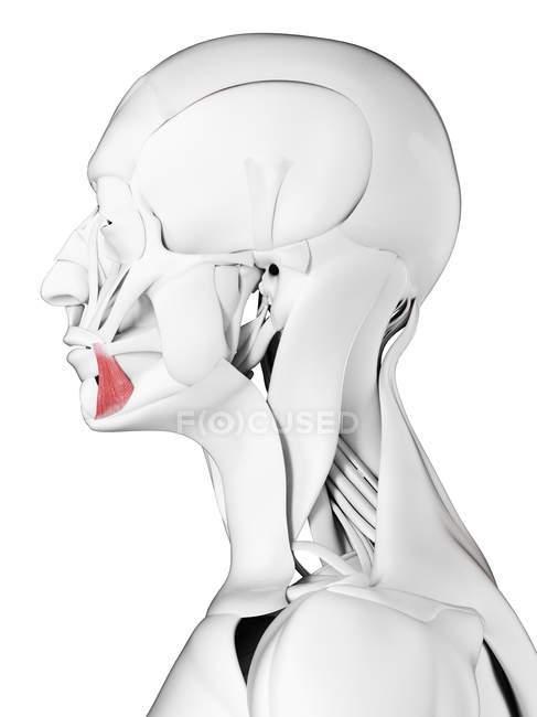 Male anatomy showing Anguli oris muscle, computer illustration. — Stock Photo